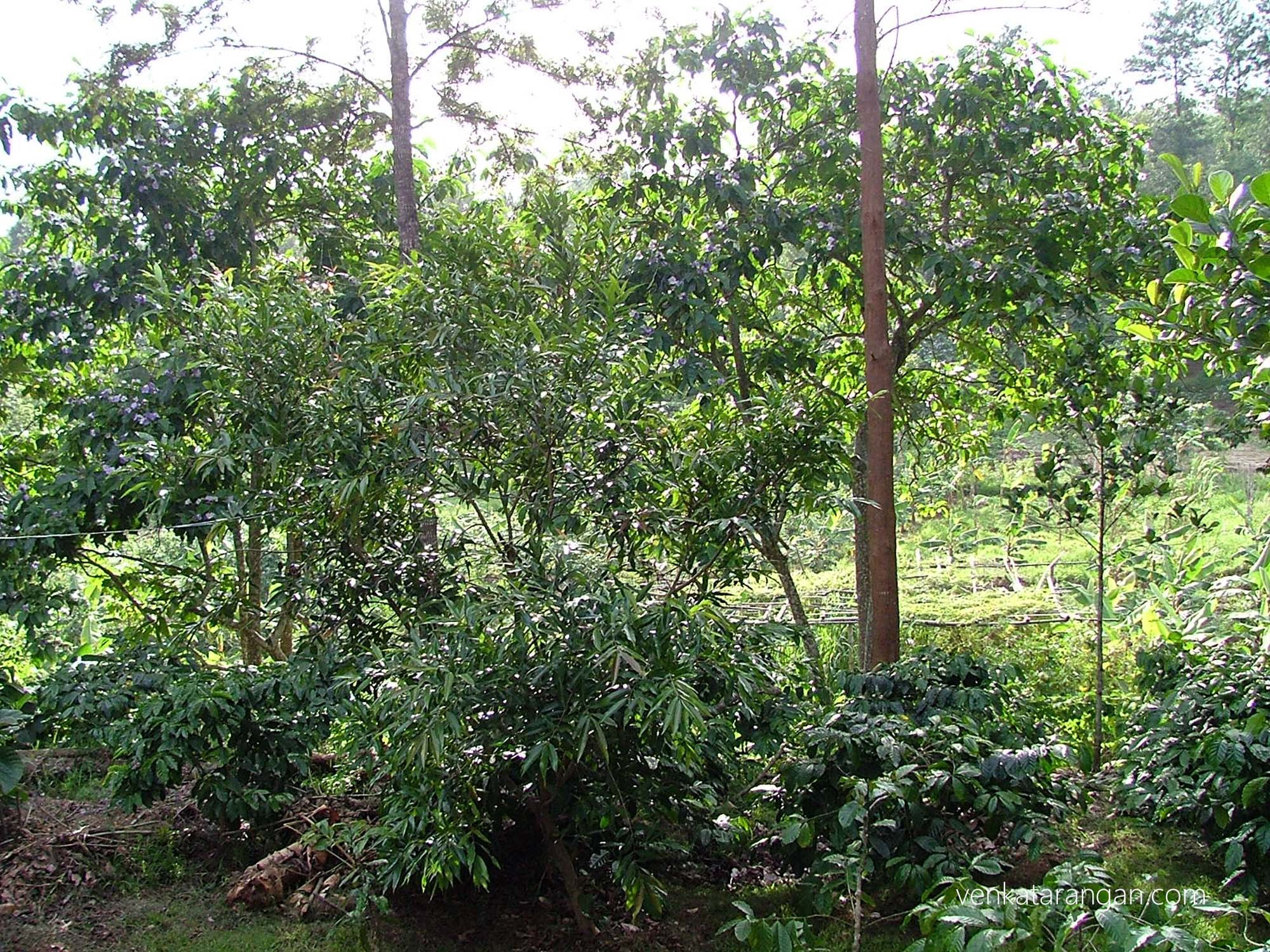 The resort is situated inside an estate growing various vegetables and fruits