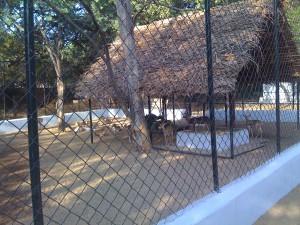 Antelopes at Guindy Children Park
