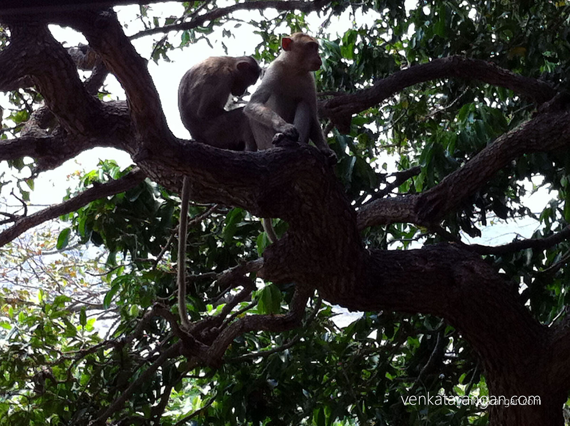 Monkeys everywhere in Sholingur