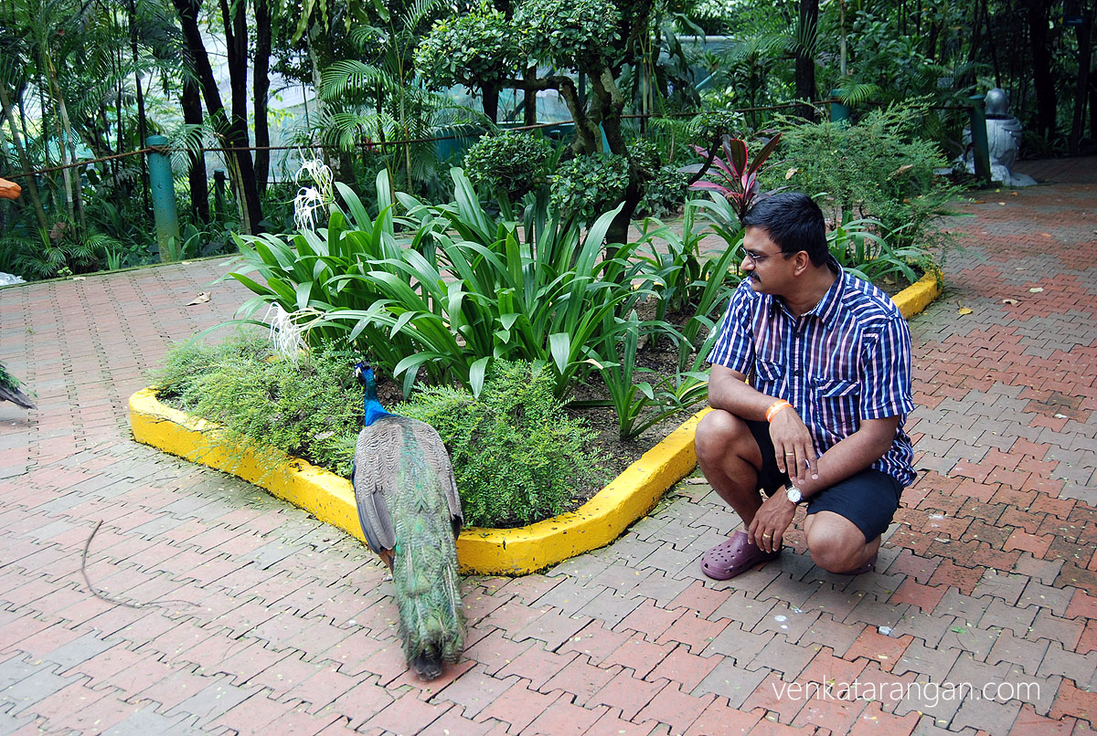 Venkatarangan watching a Peacock - KL Bird Park