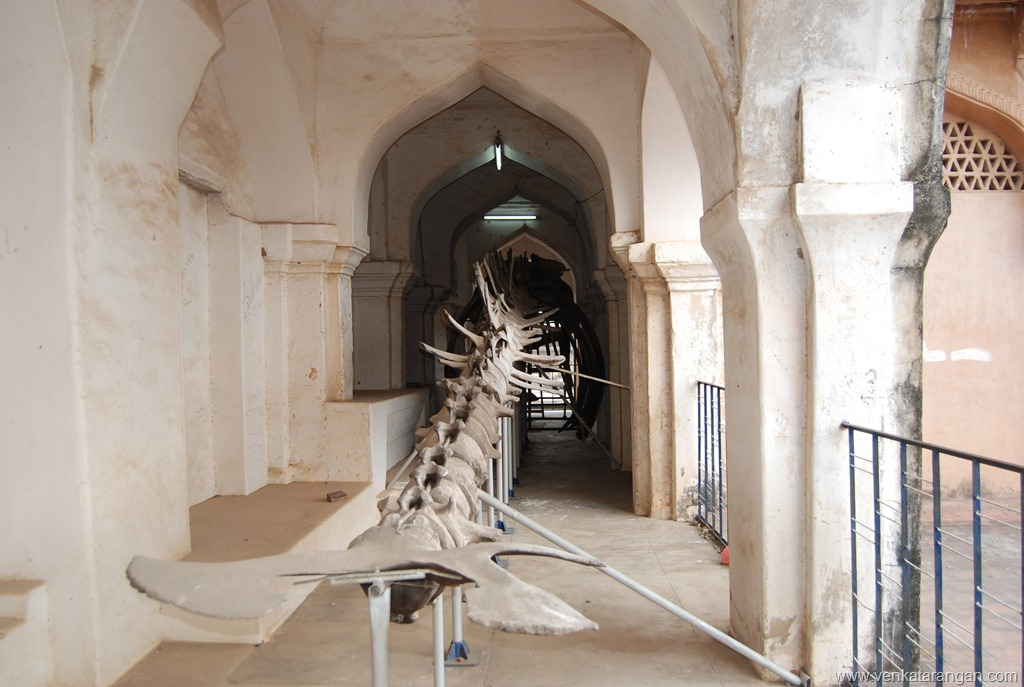 Whale skeleton in Thanjavur Palace Museum