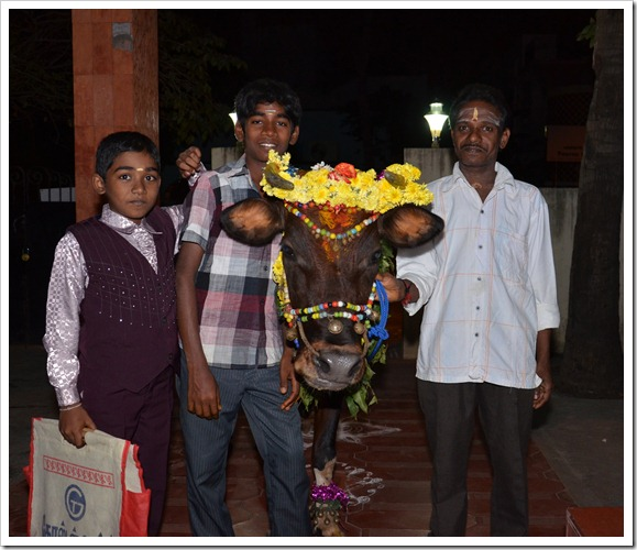 Decorated cow - Maatu Pongal
