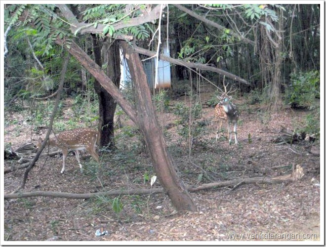Deers-in-IIT-Madras-Campus