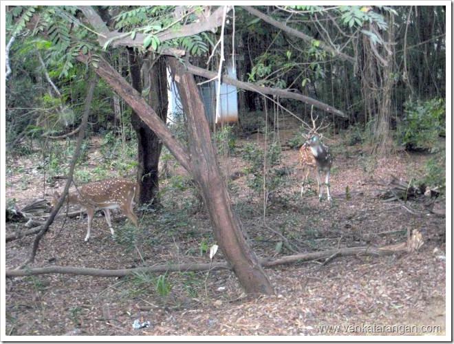 Deers-in-IIT-Madras-Campus