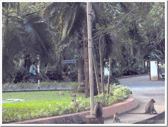 Monkeys-in-IIT-Madras-Campus