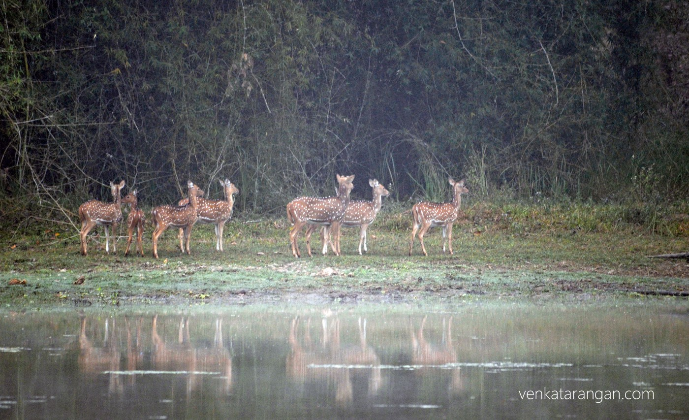 Early morning, Deer outing to drink
