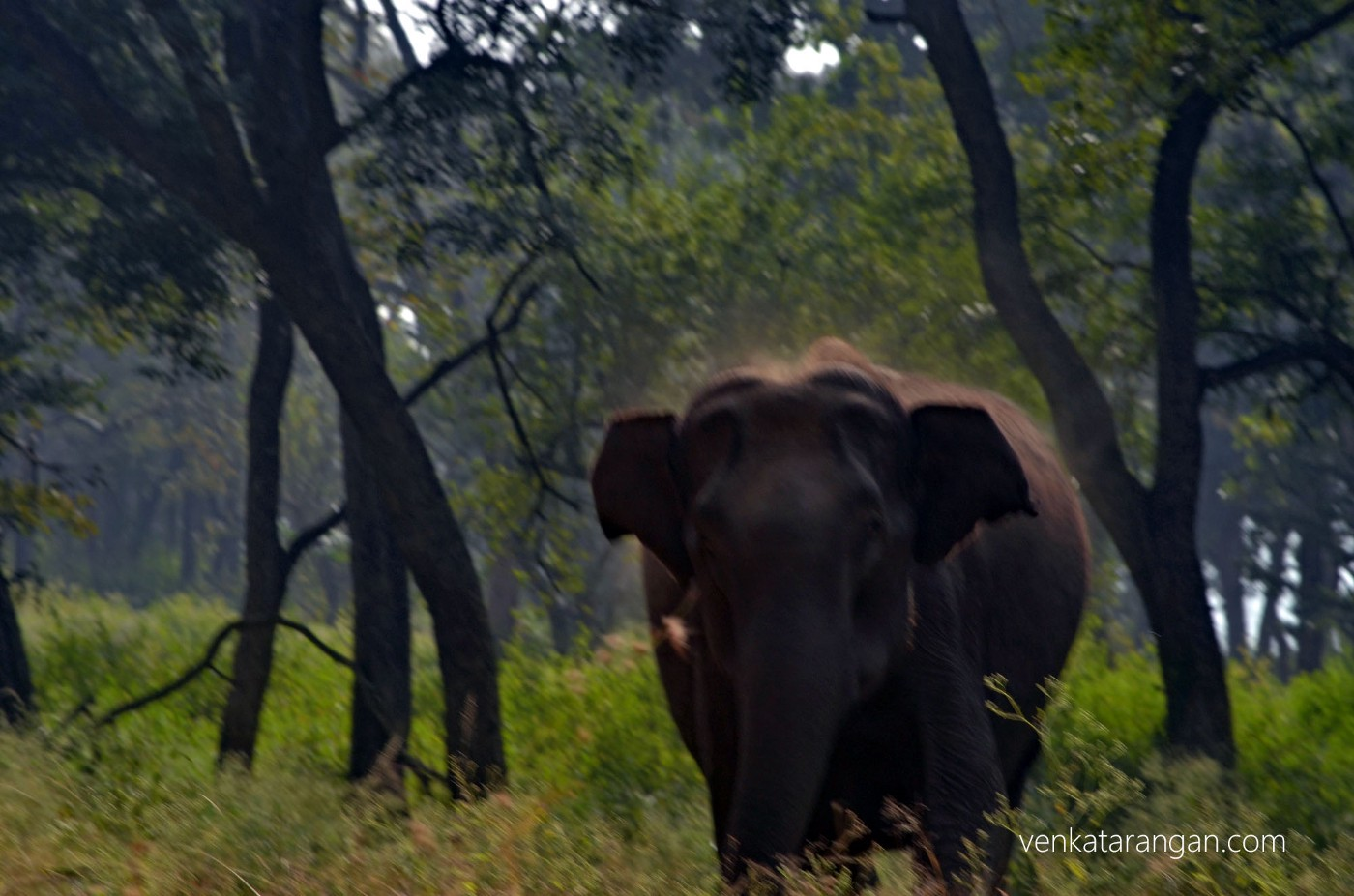 Young wild elephant charging at our vehicle