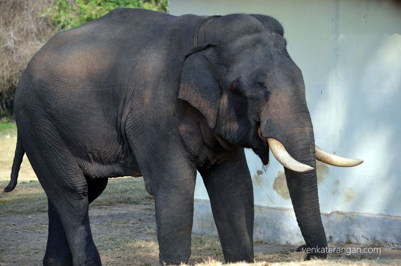 Young elephant at the santcuary run by the Bandipur forest department