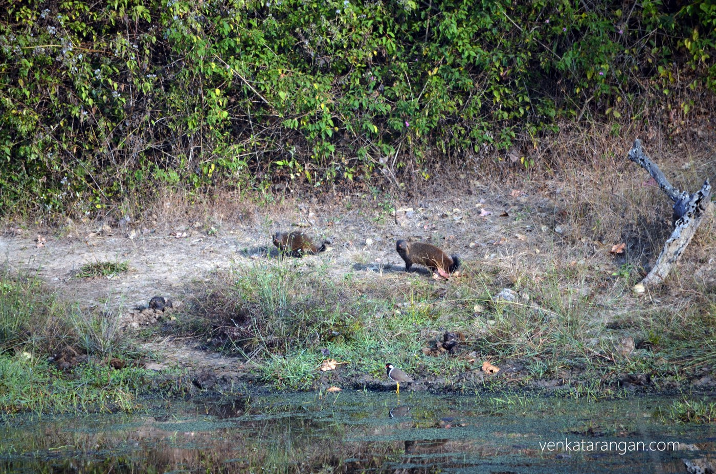 Wild mongoose (in the centre)