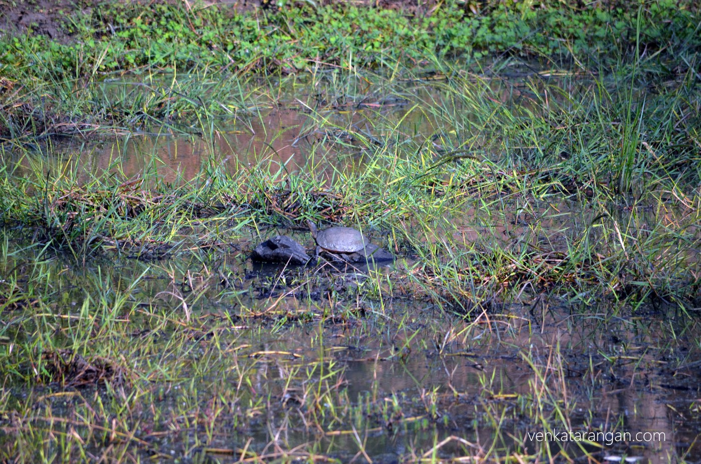 Indian Black Turtle (in the centre)