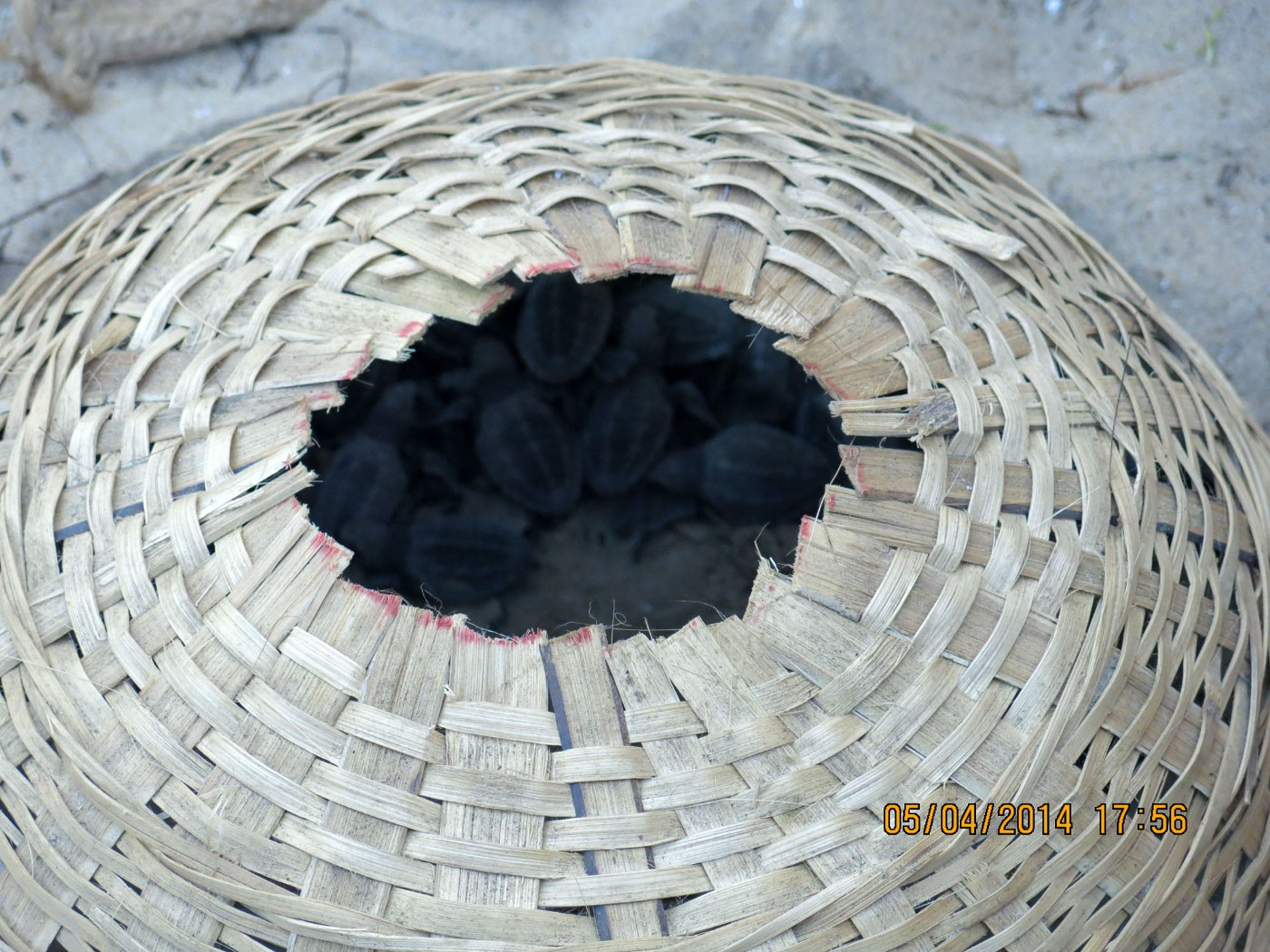 Turtle Hatchlings kept safe in baskets