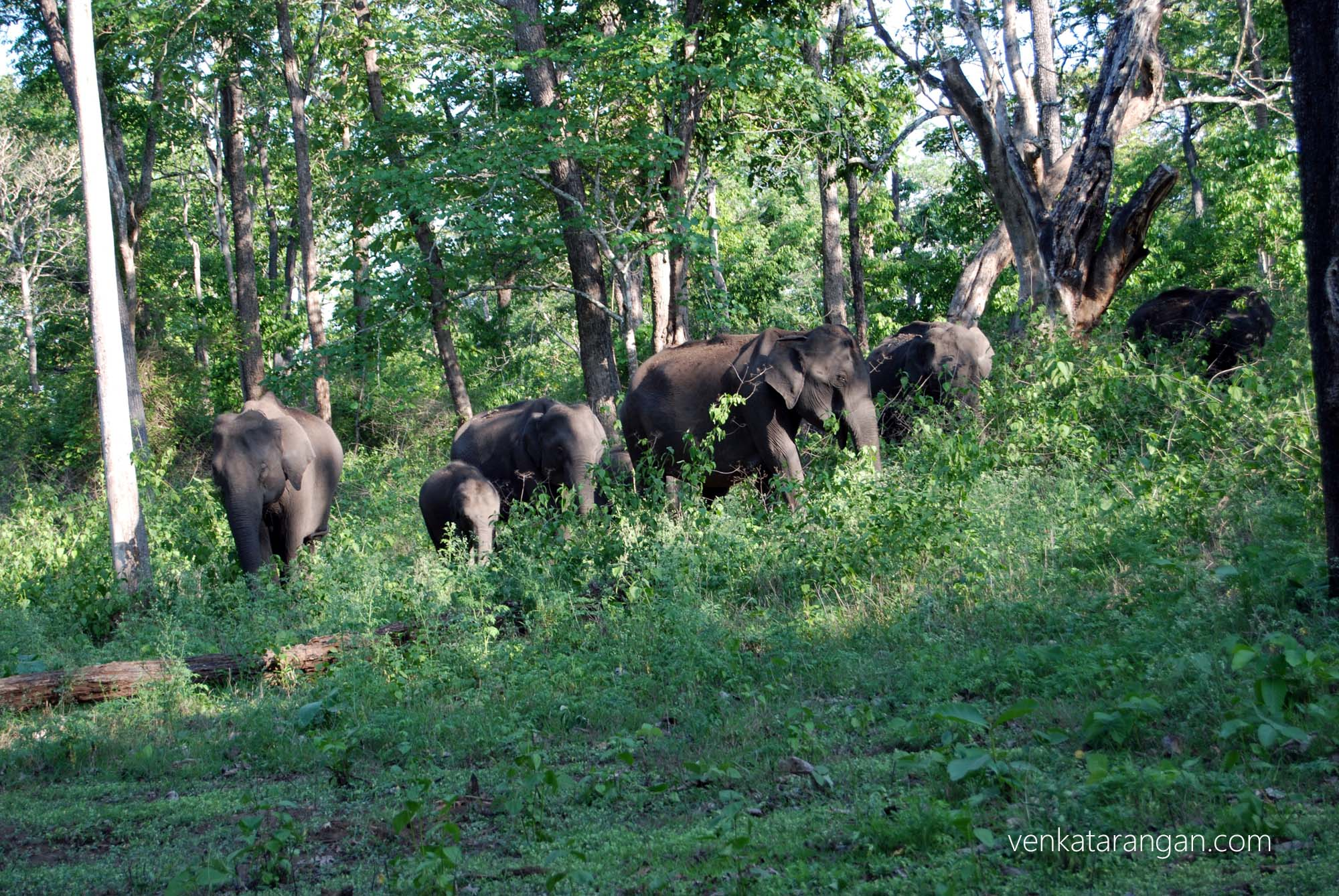 Wild elephant herd inside the forest