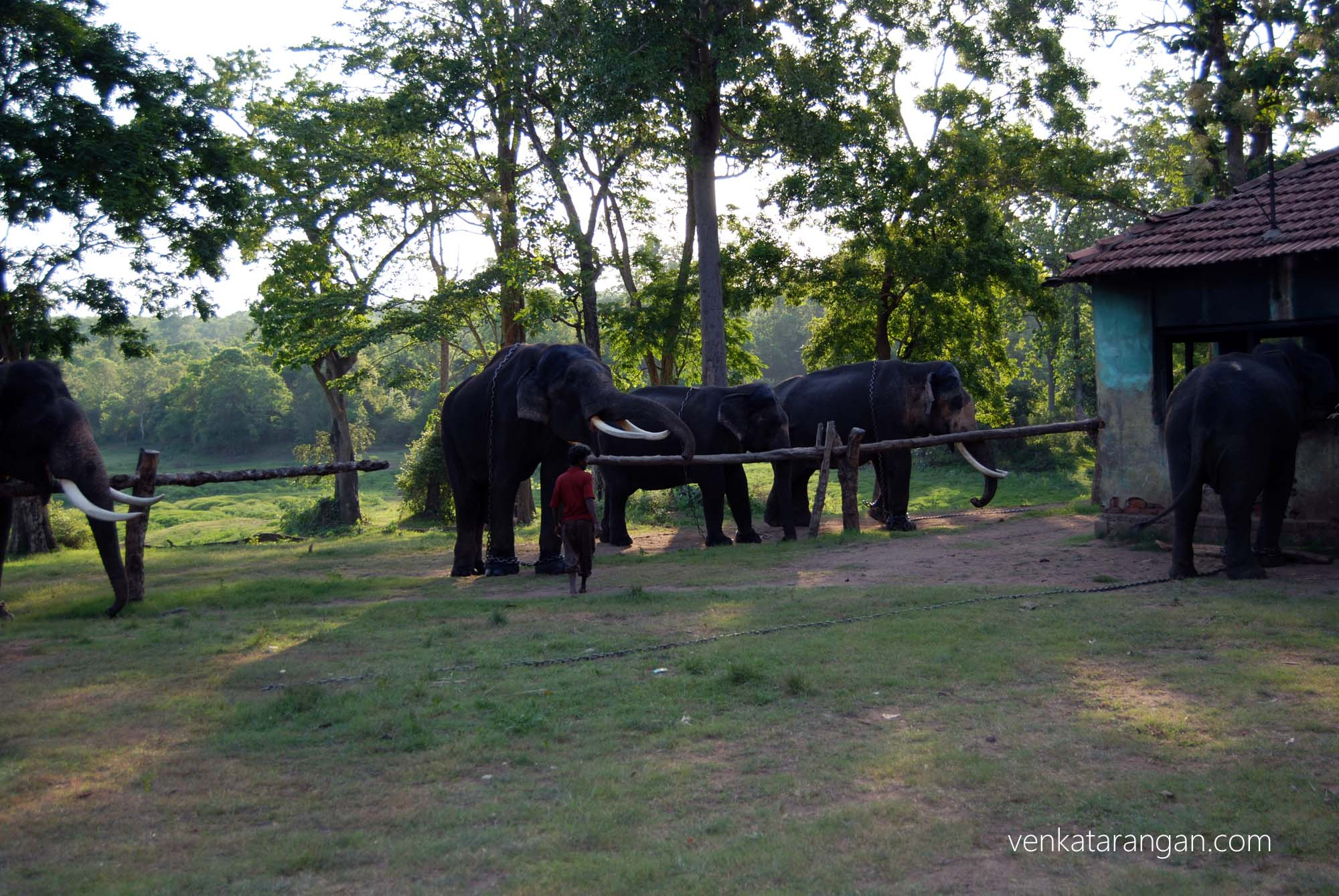 Elephants maintained by forest department