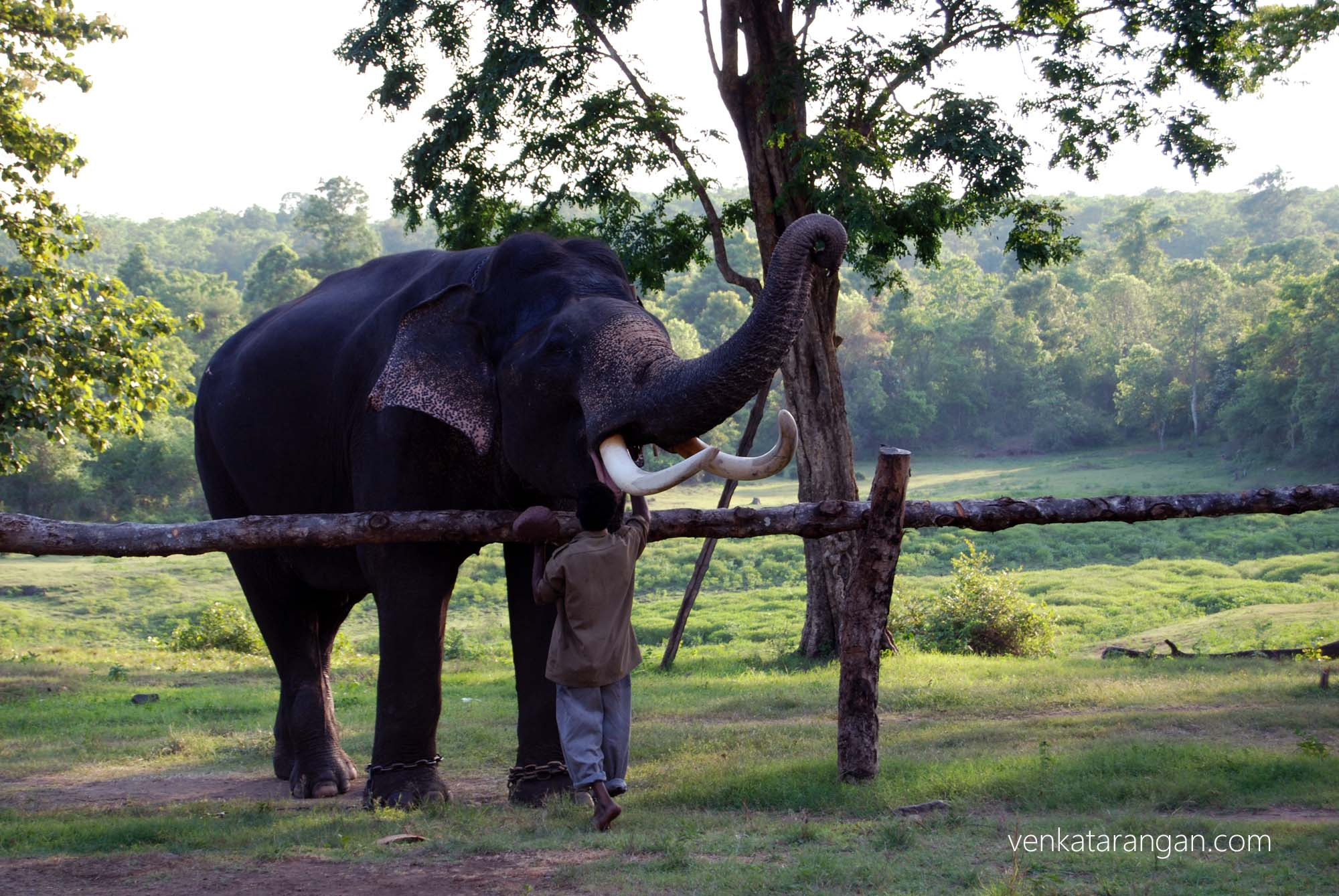 An Elephant having its meal given to it