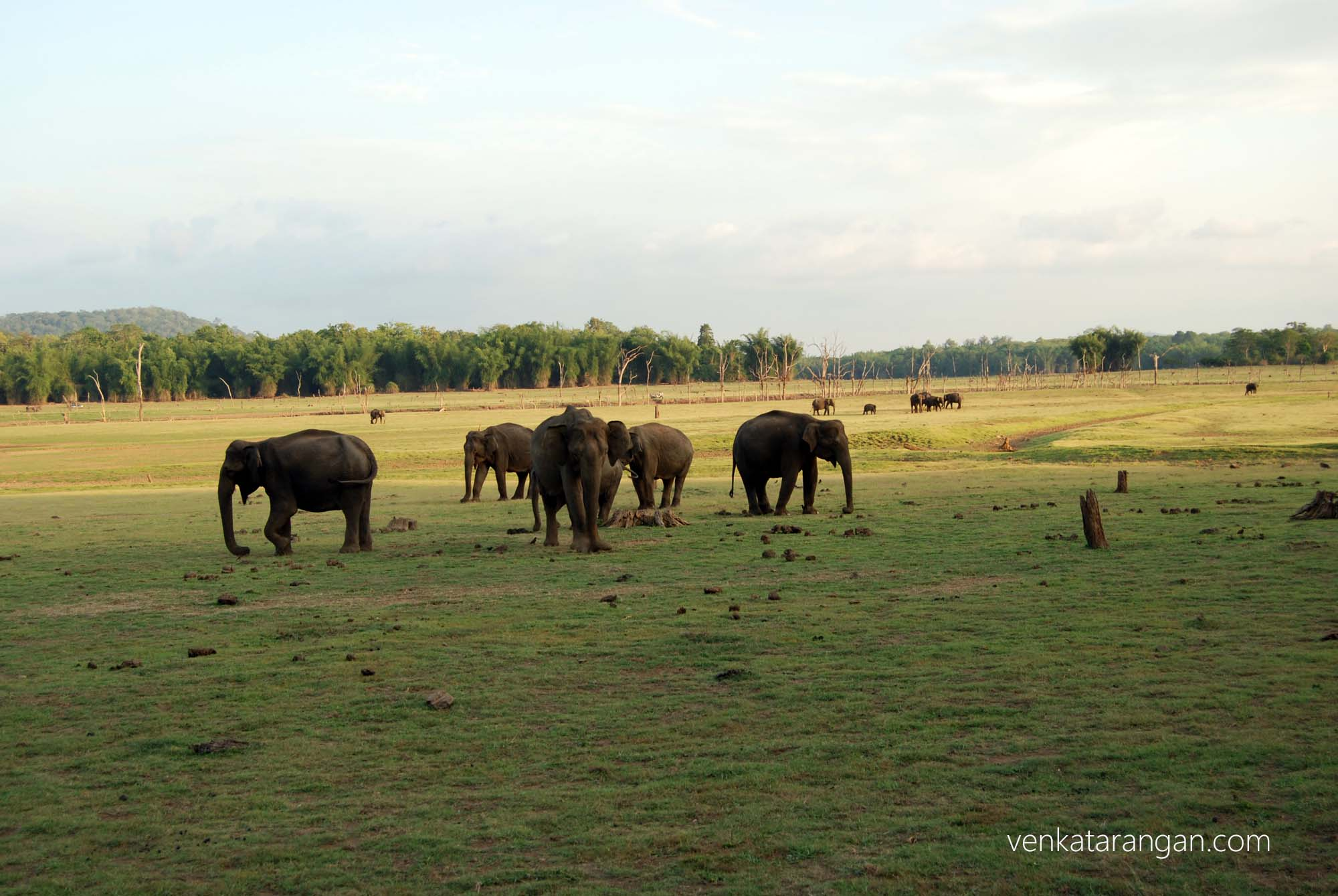 Elephants grazing