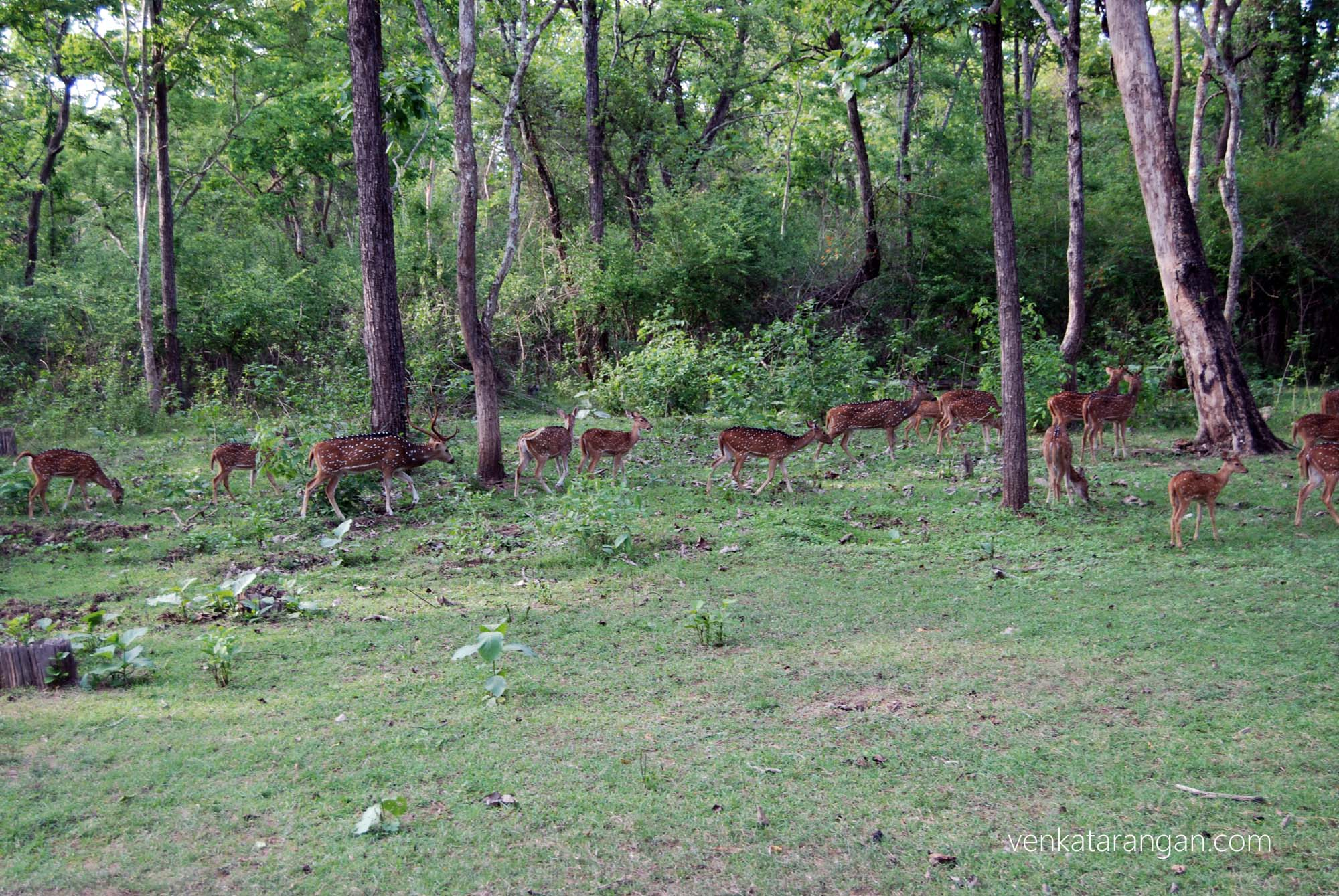 Spotted Deer inside the forest