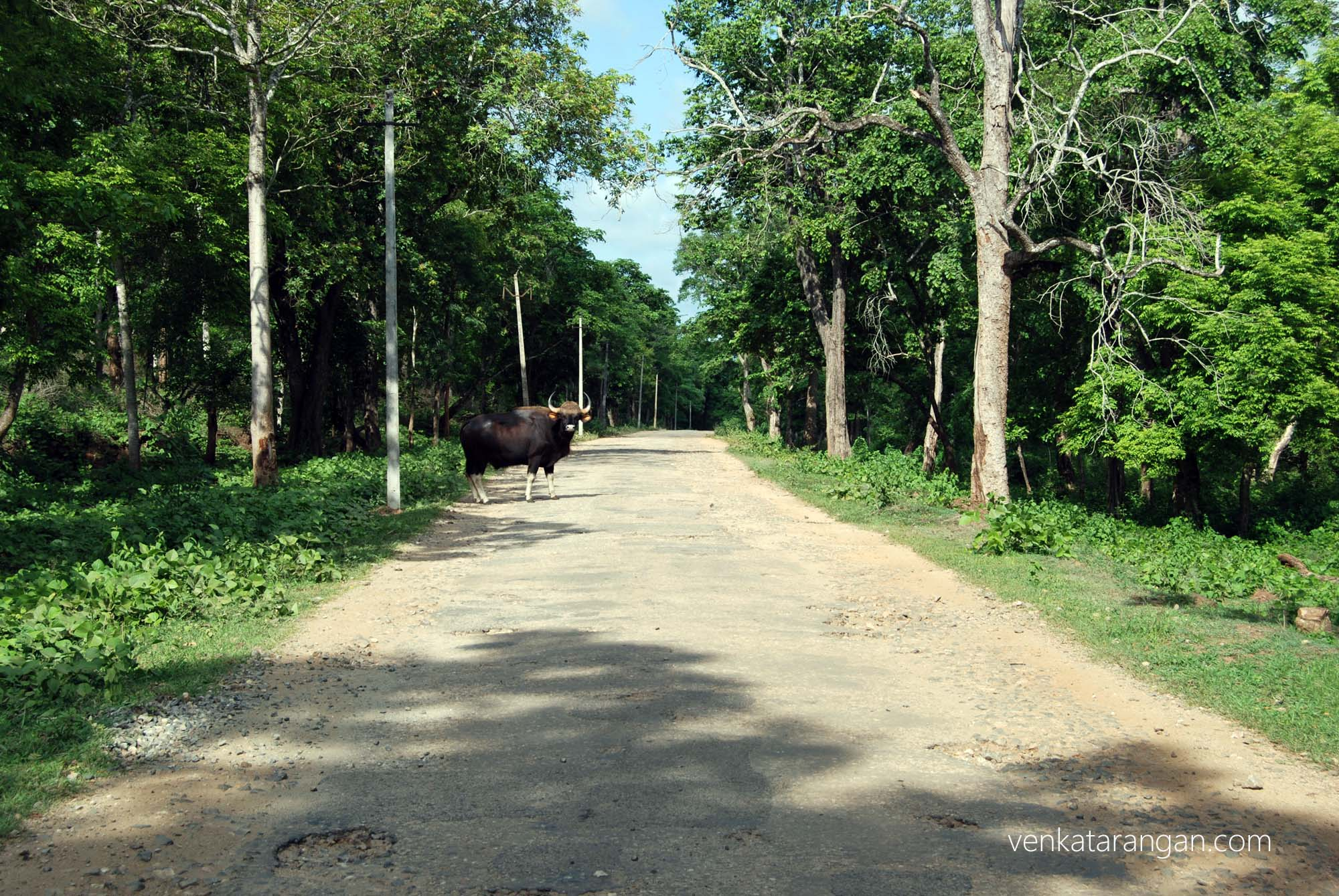 Wild Gaur crossed our path