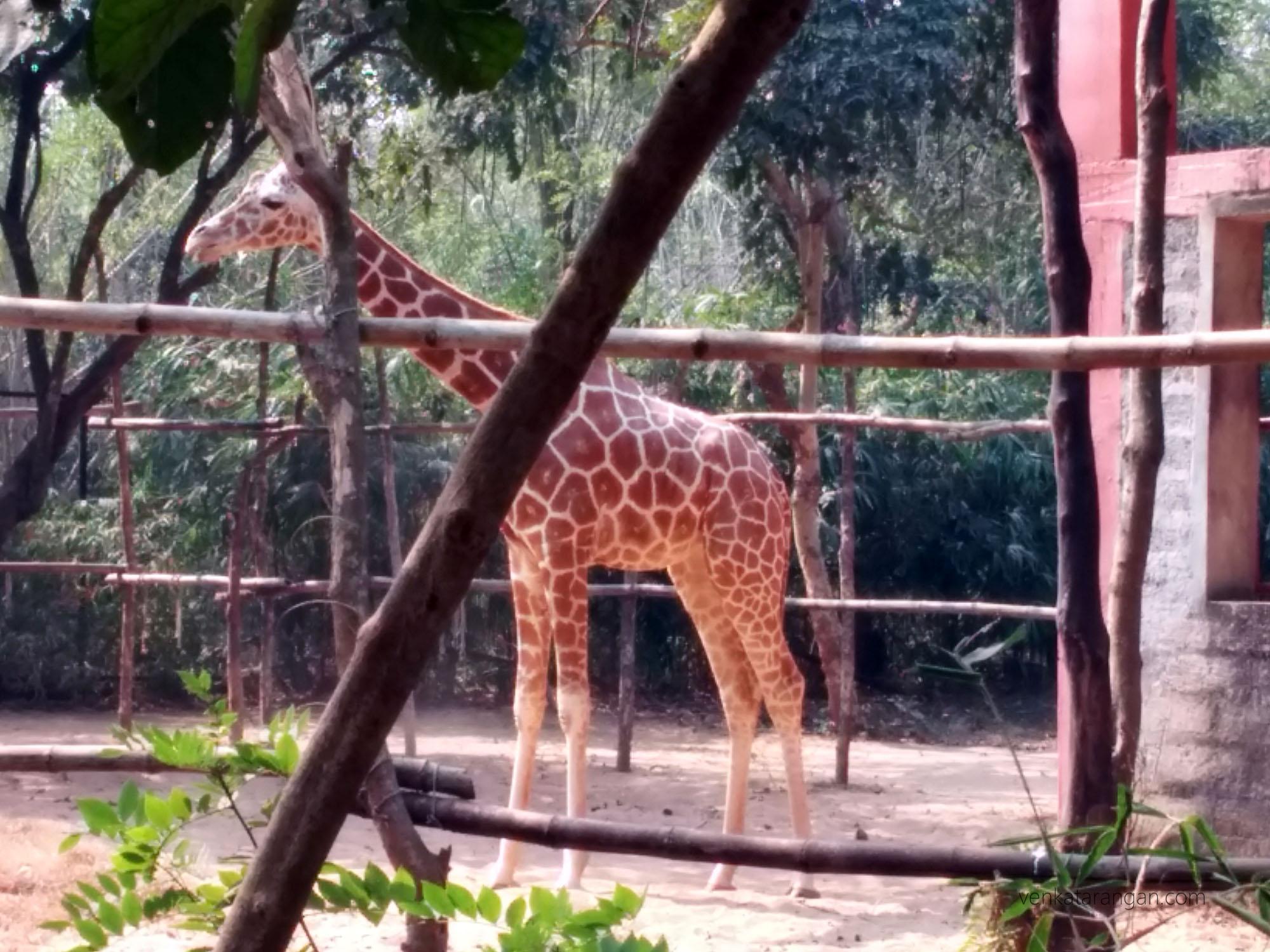 Giraffe - Nandankanan Zoological Park