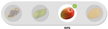 Mangoidiots rating: Ripe