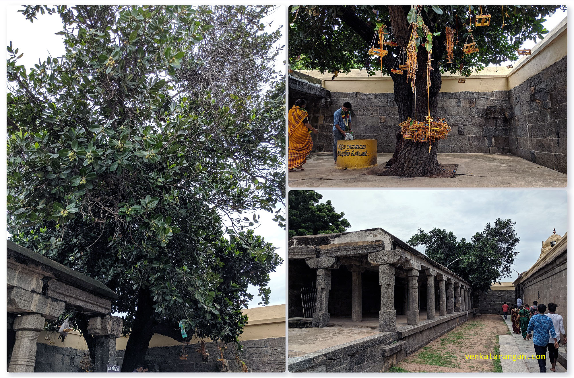 View of the holy temple tree, it is believed if you pray to the God here you will get married soon, you come back and offer your marriage garland here as an offering.